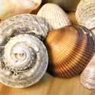 Shells from Australia