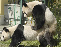 Pandas copulate